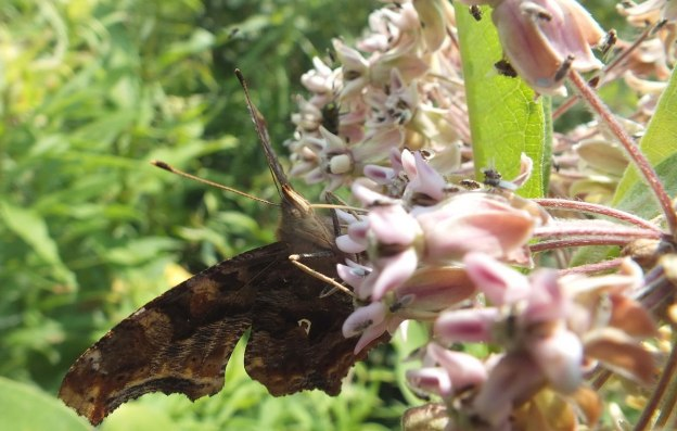 eastern comma butterfly, tommy thompson park, pic 2