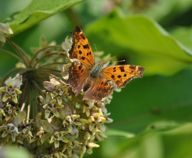 eastern comma butterfly, tommy thompson park, toronto 6