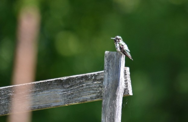 Leucistic Ruby Throated Hummingbird on fence at Shell Park, Oakville, Ontario
