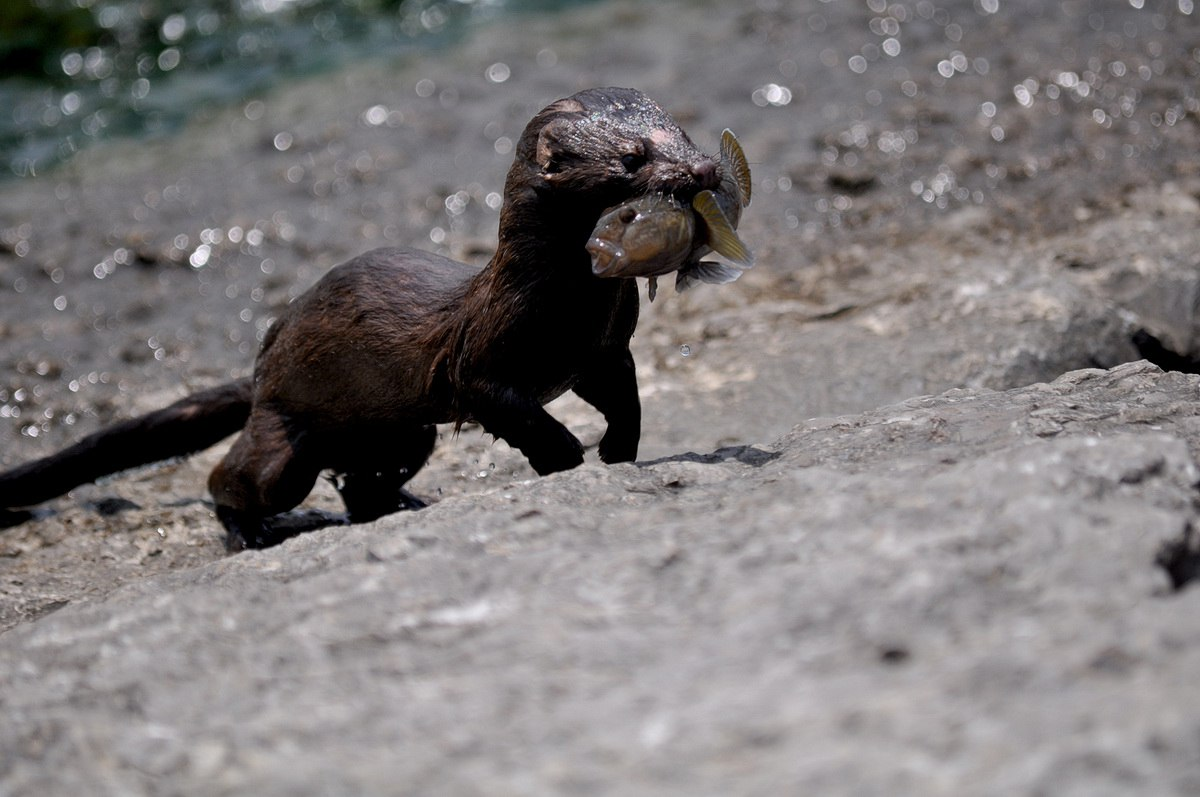 Black Mink Vancouver Island