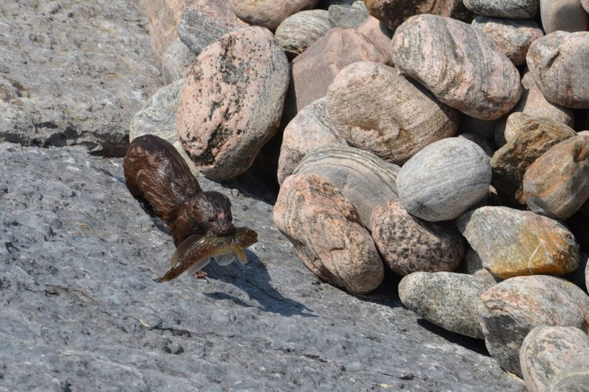 mink, lake ontario, rouge national park, toronto, 18