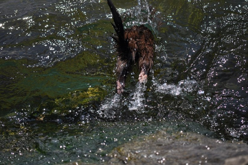 mink jumping into the waters of lake ontario, in rouge national park, toronto, ontario, canada