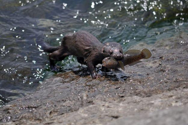 mink, lake ontario, rouge national park, toronto, 9