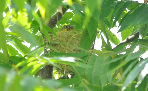 orchard oriole, baby, ajax, ontario, pic 2