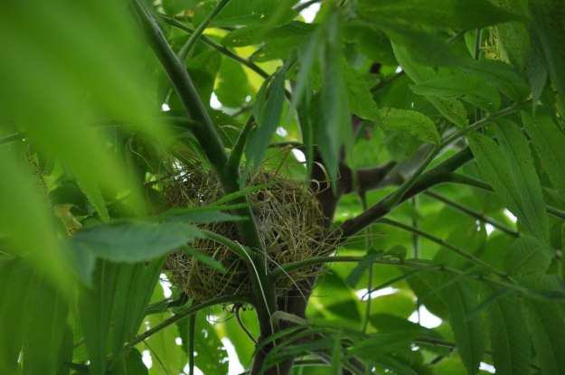 Orchard Oriole bird nest in a tree in Ajax, Ontario, Canada