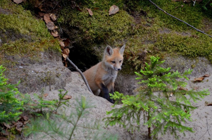 red fox kit, algonquin park, ontario, june 1 2015, pic 31