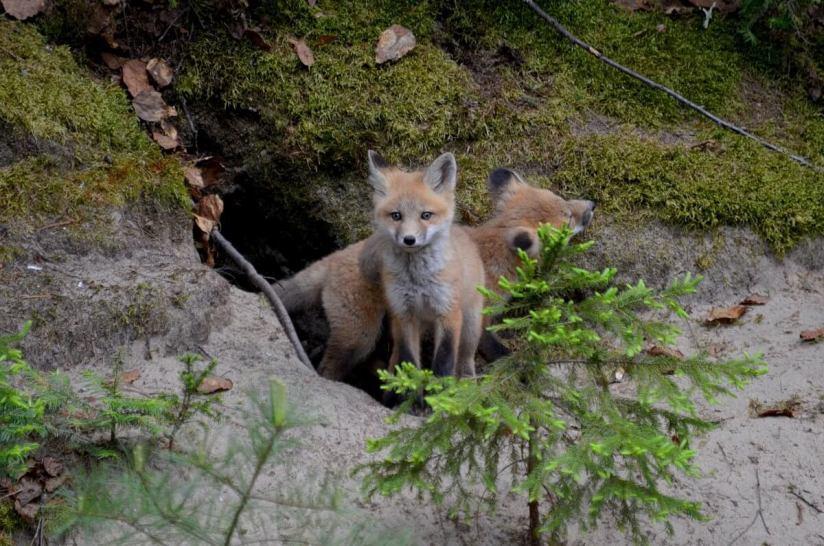red fox kit, algonquin park, ontario, june 1 2015, pic 32