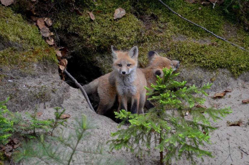 red fox kits, algonquin provincial park, ontario