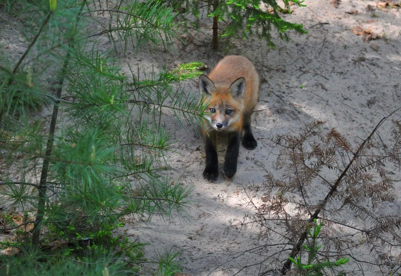red fox kit, algonquin park, ontario, pic 3