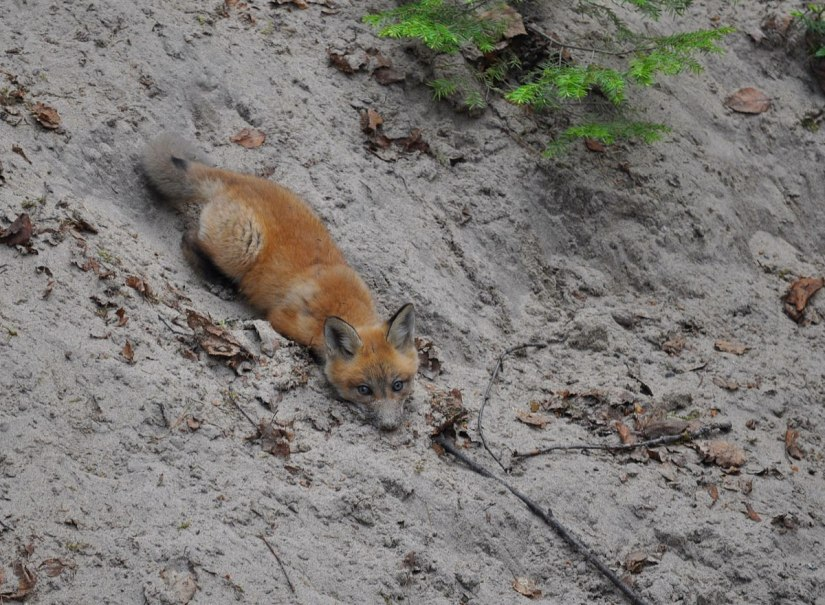 red fox kit in sand, algonquin provincial park, ontario