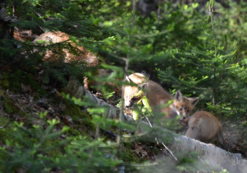 red fox kits, algonquin park, ontario, pic 2