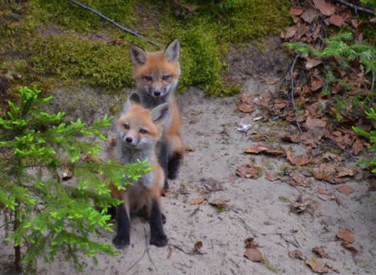 red fox kits, algonquin park, ontario, pic 4