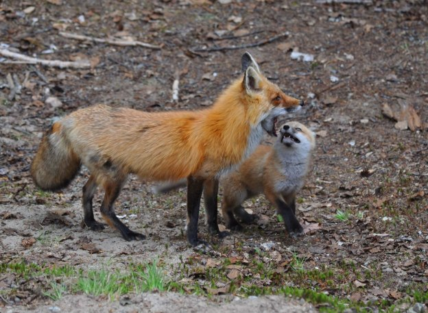 red fox mom and kit, algonquin park, ontario, pic 2