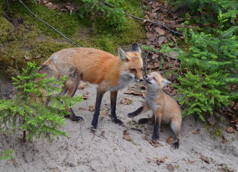 red fox mom and kit, algonquin park, ontario, pic 3