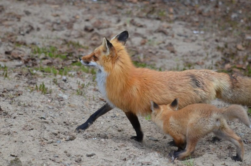 red fox mom and kit, algonquin provincial park, ontario