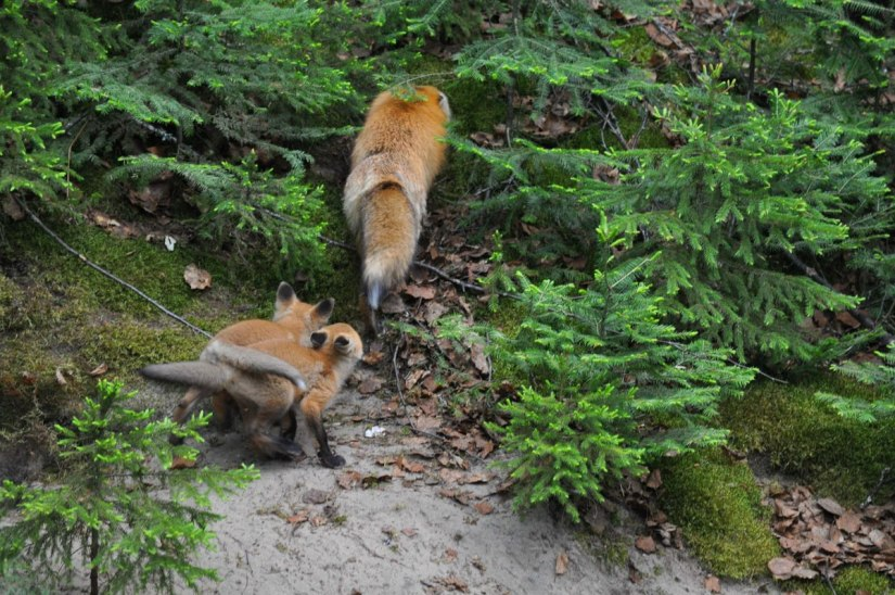 red fox mom and kits, algonquin park, ontario, pic 1