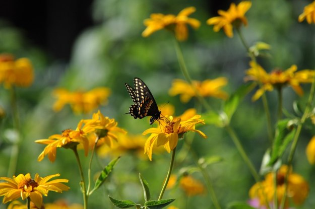 A Black Swallowtail Butterfly sitting on a flower in Toronto, Ontario