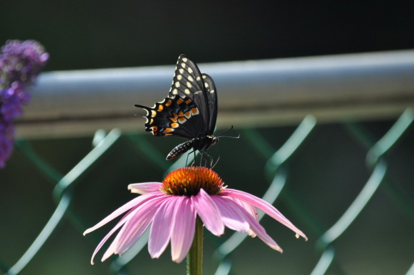 A Black Swallowtail Butterfly sitting on a coneflower in Toronto, Ontario