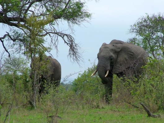 african elephants, kruger national park, south africa