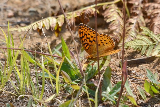 Atlantis fritillary butterfly sitting on a plant in Algonquin Park, Ontario, Canada