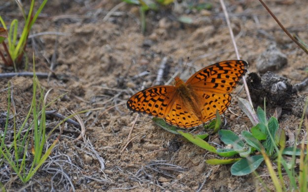 Atlantis fritillary butterfly on the ground at Mew Lake, in Algonquin Park, Ontario, Canada