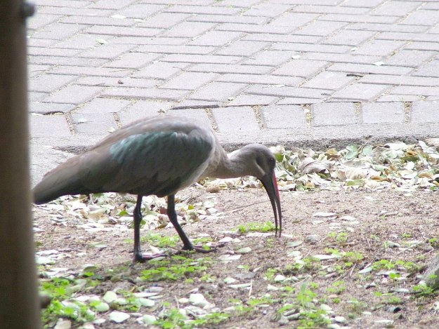 Hadeda Ibis at Skukuza Rest Camp in Kruger National Park, in South Africa
