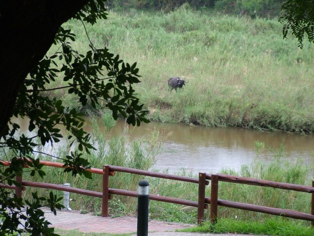 An image of a Cape buffalo along the river at skukuza rest camp in Kruger National Park, in South Africa. Photography by Frame To Frame - Bob and Jean.
