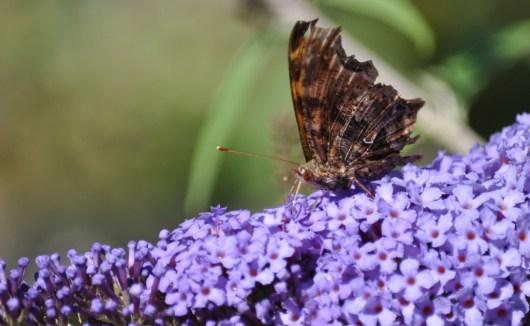 eastern comma butterfly, rosetta mcclain park, toronto, pic 11