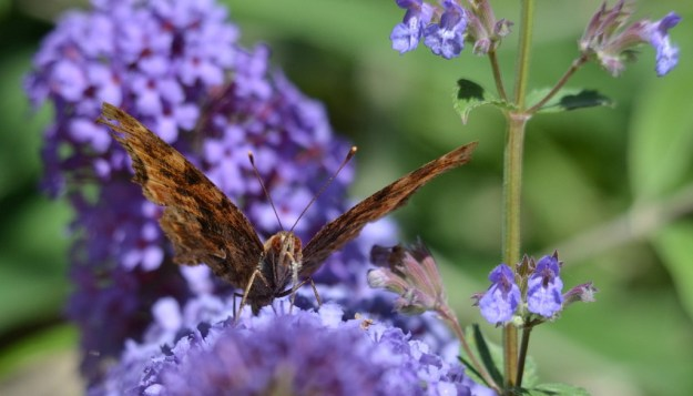 eastern comma butterfly, rosetta mcclain park, toronto, pic 17