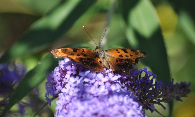 eastern comma butterfly, rosetta mcclain park, toronto, pic 2