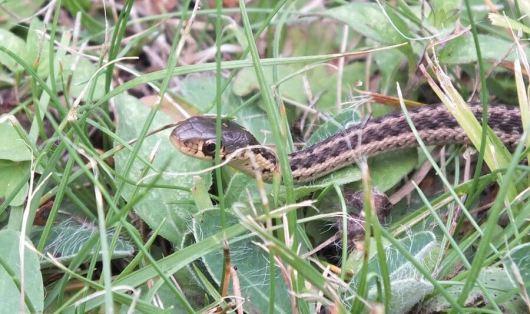 eastern garter snake, oxtongue lake, ontario, pic 2