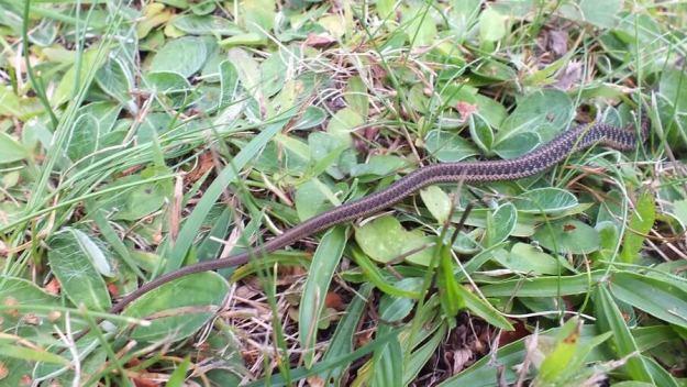 eastern garter snake, oxtongue lake, ontario, pic 6