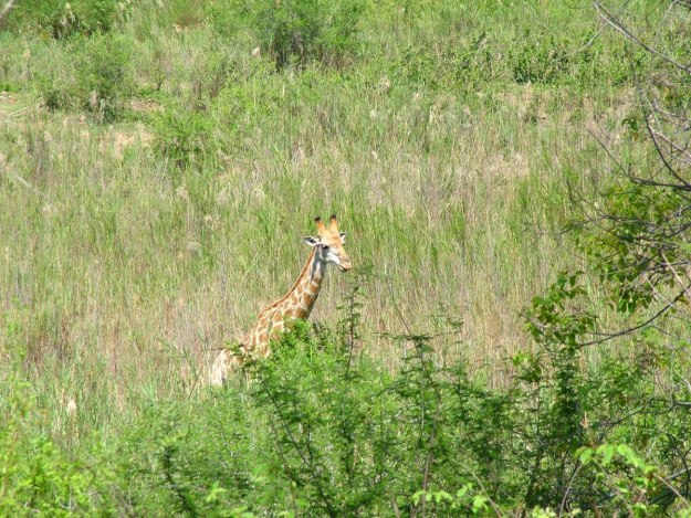 A giraffe in a meadow in Kruger National Park, South Africa