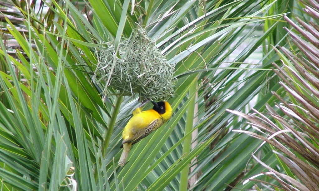 A image of a lesser-masked weaver bird builds a hanging nest in Skukuza Rest Camp in Kruger National Park, South Africa.