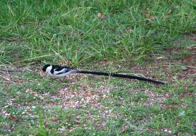 Pin-tailed Whydah on the grass in Sabie, South Africa
