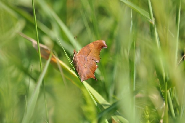 Question mark butterfly sitting on a blade of grass at Rouge National Park