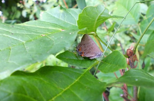 Striped Hairstreak Butterfly among plant leaves near Huntsville, Ontario, Canada.