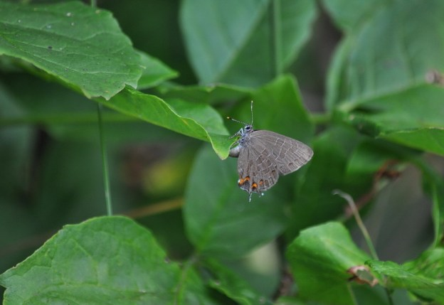 Striped Hairstreak Butterfly on a plant leaf near Huntsville, Ontario, Canada.