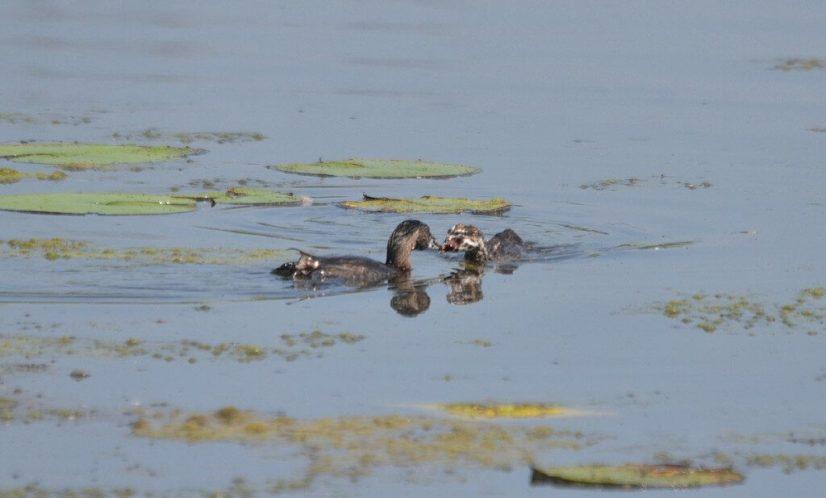 Pied-billed Grebe feeding juvenile grebe at South Reesor Pond in northeast Toronto, Ontario