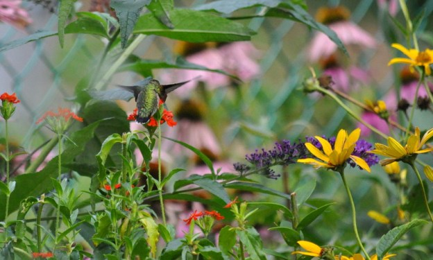 A Ruby-throated Hummingbird in a flower garden in Toronto, Ontario, Canada