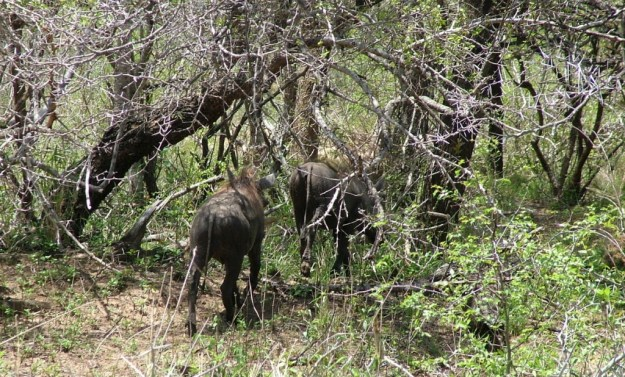 An image of warthogs running into the bushland in Kruger National Park, South Africa.