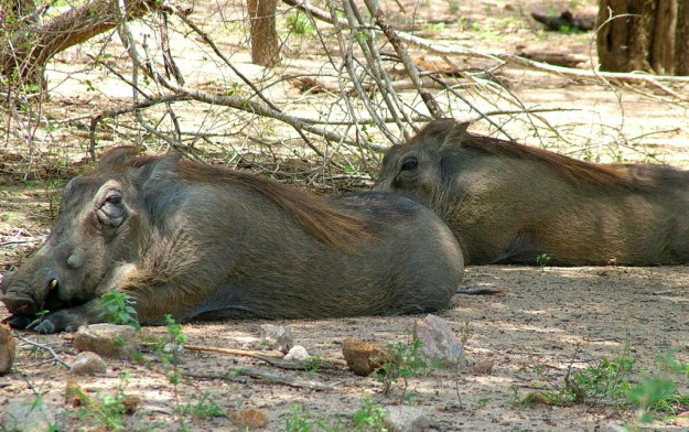 An image of two Warthogs rest and sleep together under trees in Kruger National Park in South Africa.