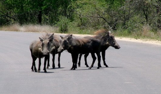 An image of warthogs on a road in Kruger National Park, in South Africa. Photography by Frame To Frame - Bob and Jean.
