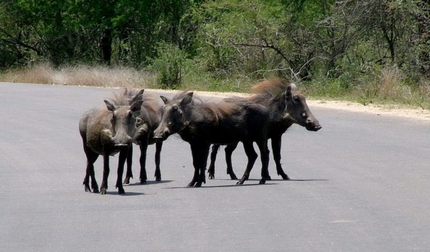 An image of warthogs standing together on a road in Kruger National Park, South Africa.