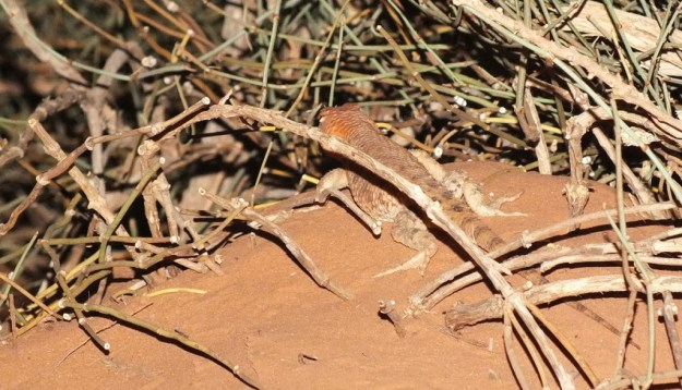 Desert spiny lizard among bushes in Monument Valley in Arizona, USA