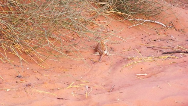 Desert spiny lizard on the ground in Monument Valley in Arizona, USA