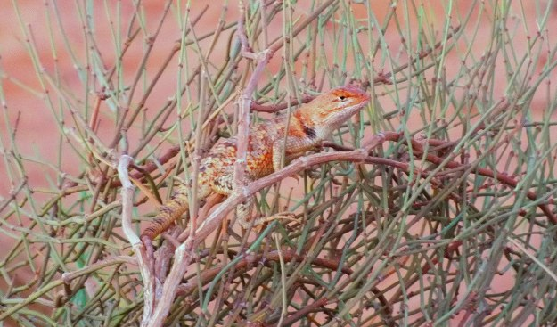Desert spiny lizard on top of a bush in Monument Valley in Arizona, USA