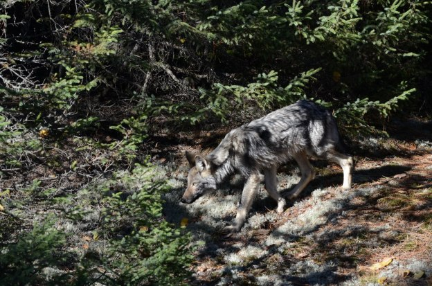 Eastern wolf walking on trail in Algonquin Park, Ontario, Canada