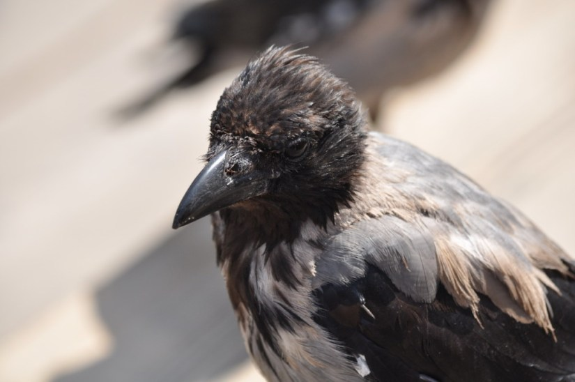 Hooded crow in Rome, Italy