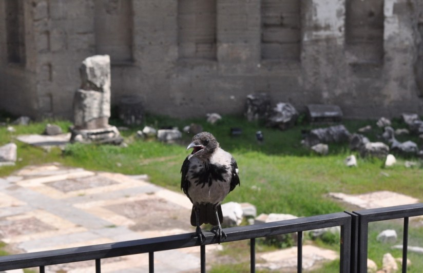 A hooded crow at Trajan's Market, in Rome, Italy